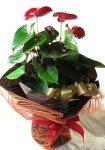 画像3: アンスリウムの鉢植えギフト (3)
