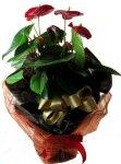 画像2: アンスリウムの鉢植えギフト (2)