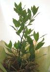 画像2: 月桂樹(ローレル)の鉢植えギフト (2)