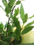 画像3: 月桂樹(ローレル)の鉢植えギフト (3)