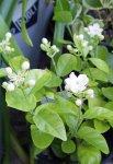 画像4: ジャスミンの鉢植えギフト (4)