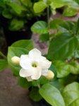 画像3: ジャスミンの鉢植えギフト (3)