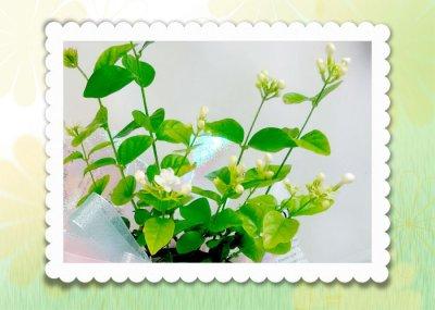 画像1: ジャスミンの鉢植えギフト