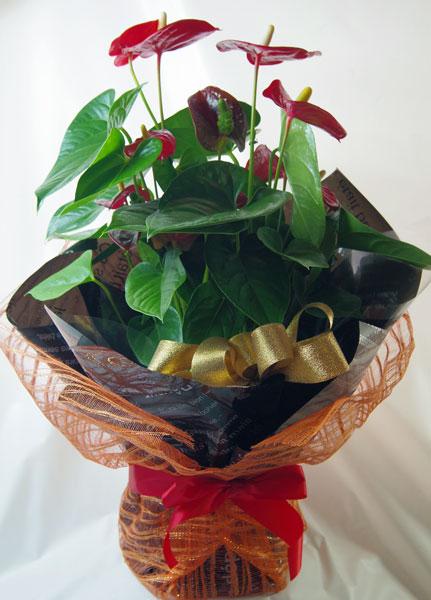 画像1: アンスリウムの鉢植えギフト (1)