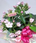 画像3: 匂い桜の鉢植えギフト (3)