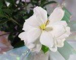 画像1: 梔子(クチナシ)の鉢植えギフト (1)