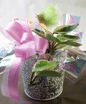 画像5: 桜蘭(サクララン)の鉢植えギフト (5)