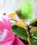 画像2: 桜蘭(サクララン)の鉢植えギフト (2)