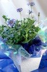 ブルーデイジーの鉢植えギフト