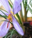 画像4: サフランの鉢植えギフト (4)