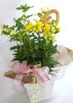 画像2: カルセオラリアの鉢植えギフト (2)