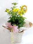 画像6: カルセオラリアの鉢植えギフト (6)