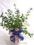 画像1: アメリカンブルーの鉢ギフト (1)