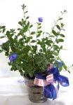 画像6: アメリカンブルーの鉢ギフト (6)