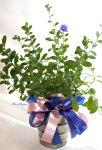 画像3: アメリカンブルーの鉢ギフト (3)