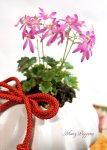 画像1: 大文字草の鉢植えギフト (1)