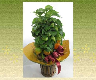 画像3: ほおずきの鉢植えギフト