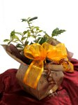 画像6: 柊の鉢植えギフト (6)