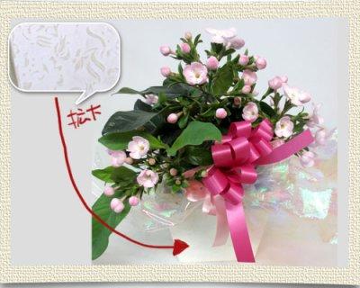画像2: 匂い桜の鉢植えギフト