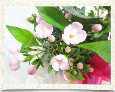 画像1: 匂い桜の鉢植えギフト