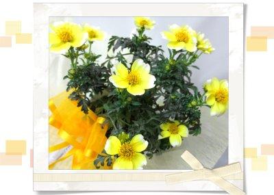 画像1: ウインターコスモスの鉢植えギフト