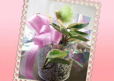 画像3: 桜蘭(サクララン)の鉢植えギフト