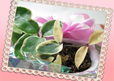 画像1: 桜蘭(サクララン)の鉢植えギフト