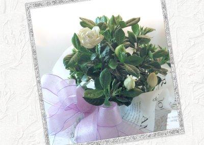 画像3: 梔子(クチナシ)の鉢植えギフト