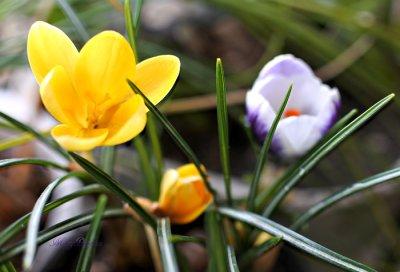 画像1: クロッカスの鉢植えギフト