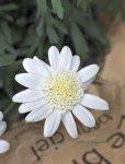 画像4: マーガレットの鉢植えギフト (4)