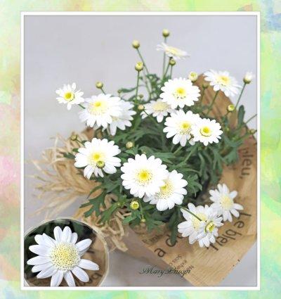 画像1: マーガレットの鉢植えギフト