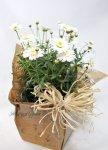 画像6: マーガレットの鉢植えギフト (6)