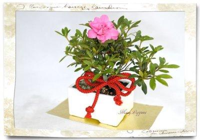 画像2: 盆栽風・皐月(サツキ)の鉢植えギフト
