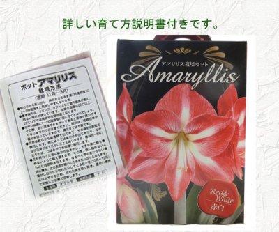 画像1: アマリリス球根栽培セット