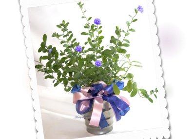 画像3: アメリカンブルーの鉢ギフト