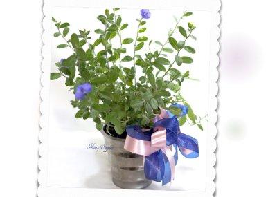 画像1: アメリカンブルーの鉢ギフト