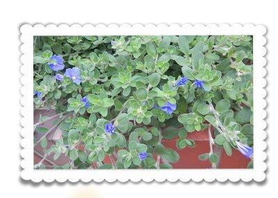 画像2: アメリカンブルーの鉢ギフト