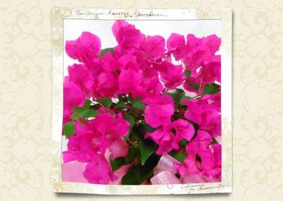 画像1: ブーゲンビリアの鉢植えギフト