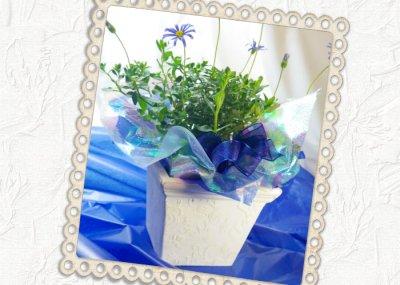 画像2: ブルーデイジーの鉢植えギフト
