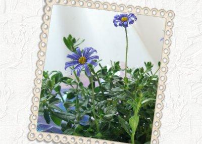 画像1: ブルーデイジーの鉢植えギフト