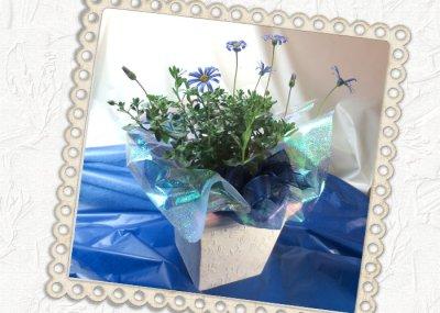 画像3: ブルーデイジーの鉢植えギフト