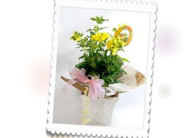 画像3: カルセオラリアの鉢植えギフト