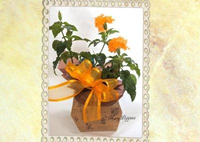 画像3: クロッサンドラの鉢ギフト