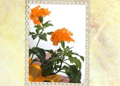 画像1: クロッサンドラの鉢ギフト