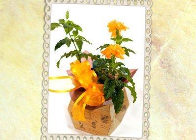 画像2: クロッサンドラの鉢ギフト