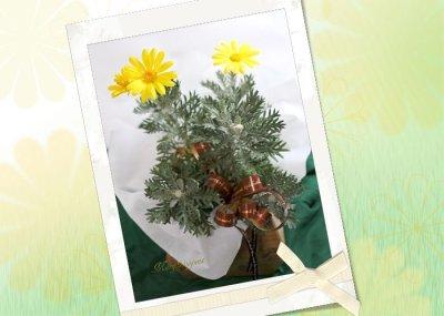 画像1: ユリオプスデージーの鉢ギフト