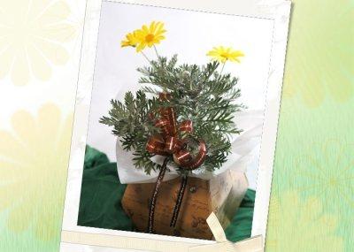 画像3: ユリオプスデージーの鉢ギフト