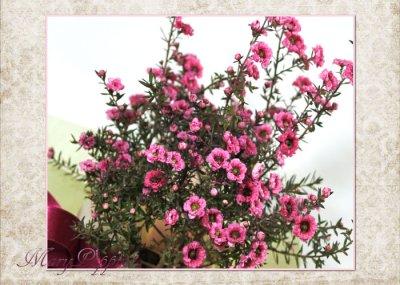 画像1: 御柳梅(ギョリュウバイ)の鉢植えギフト
