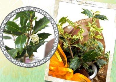画像1: 柊の鉢植えギフト