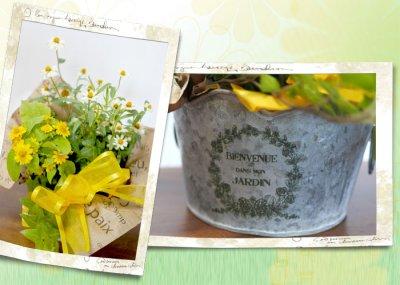画像2: 百日草(ジニア)とメランポジウムの寄せ鉢ギフト